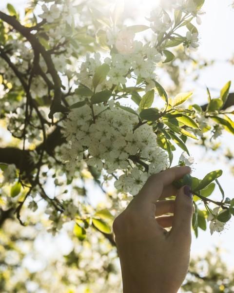 Mirabelliers en fleur